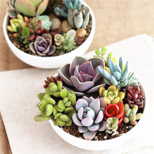 The Colorful Succulent Pack - 100 seeds