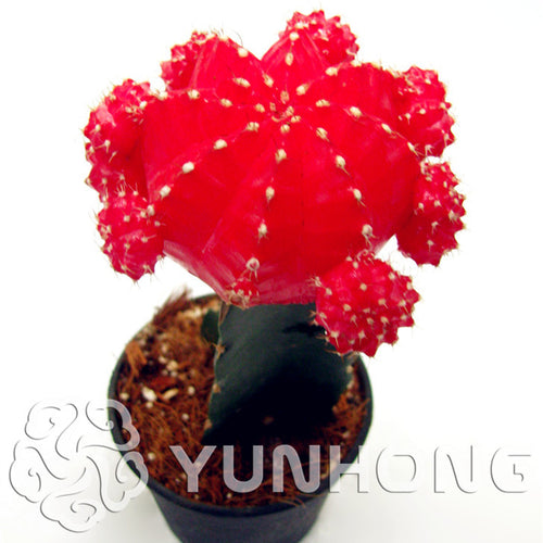 Red Star Fascinators - Succulents - 100 seeds