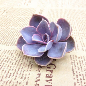 The Lavender Succulent - 100 seeds