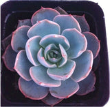 The Office Succulent - 10 Seeds Assorted