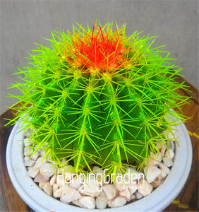 Green Tomato Cactus - 100 Seeds