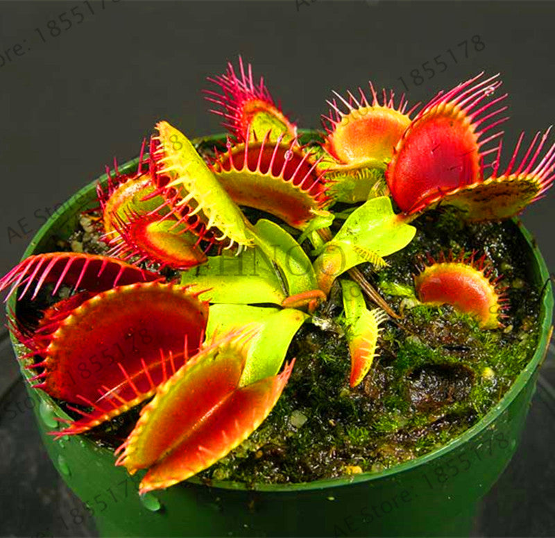 The Red Venus Flytrap 20 Seeds