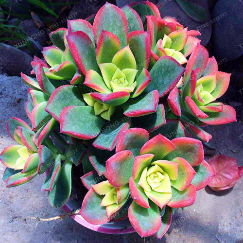 Loving Pastels Succulents 100 Seeds