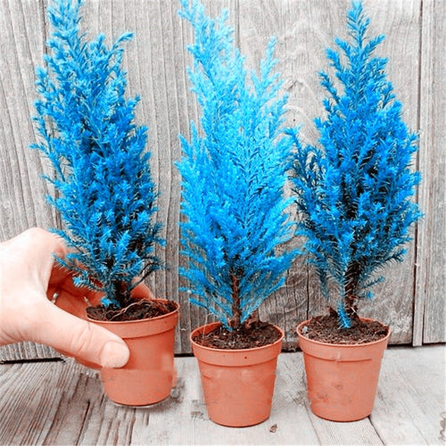 Italian Blue Cypress Indoor Trees - 50 Seeds