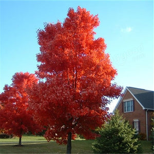 The Majestic Japanese Maple Tree - 100 Seeds