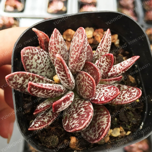 The Pristine Lady Succulent - 100 Seeds