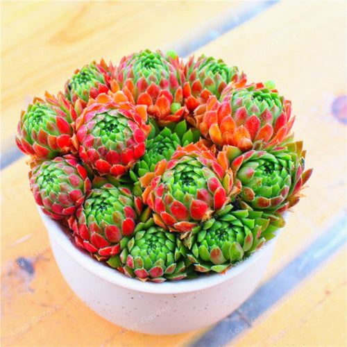Sempervivum Succulent  - 100 Seeds