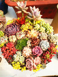 Watch the Mini's Grow - Mini/Small Succulents - 205 seeds