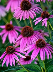 Multi Colored Echinacea - 120 Seeds