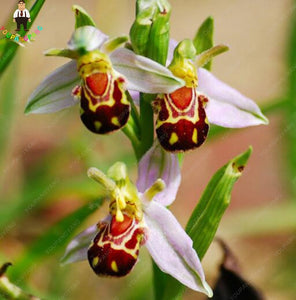 Bumblebee Orchid - 100 Seeds