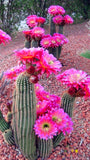 That Cactus is A Wild Color - 205 Seeds
