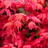 The Stunning Japanese Ghost Maple - 20 Seeds