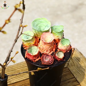 The French Rose Succulent - 200 Seeds