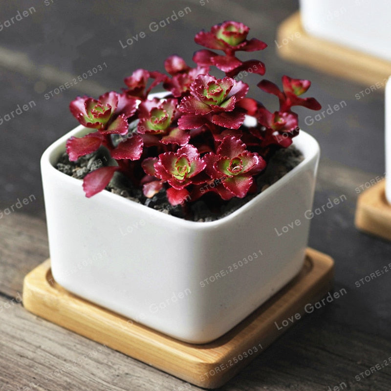 Green Ruby Succulents - 100 Seeds