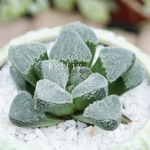 Rainbow Bunny Succulents - Monilaria obconica - 100pcs/pack