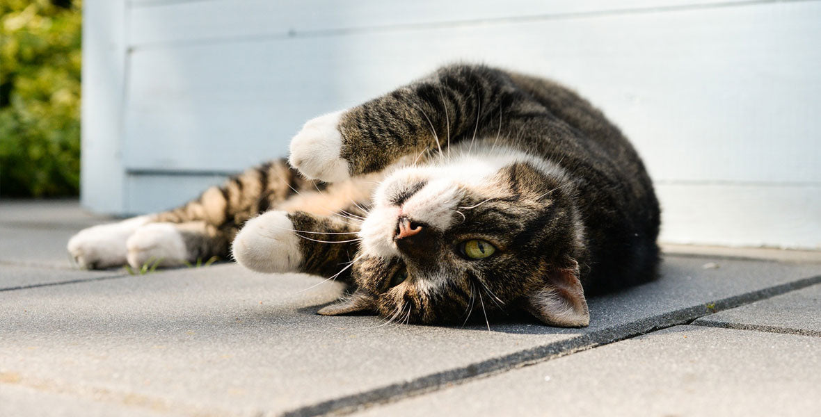 Outdoor Access is Key to Your Cat's Mental & Physical Health