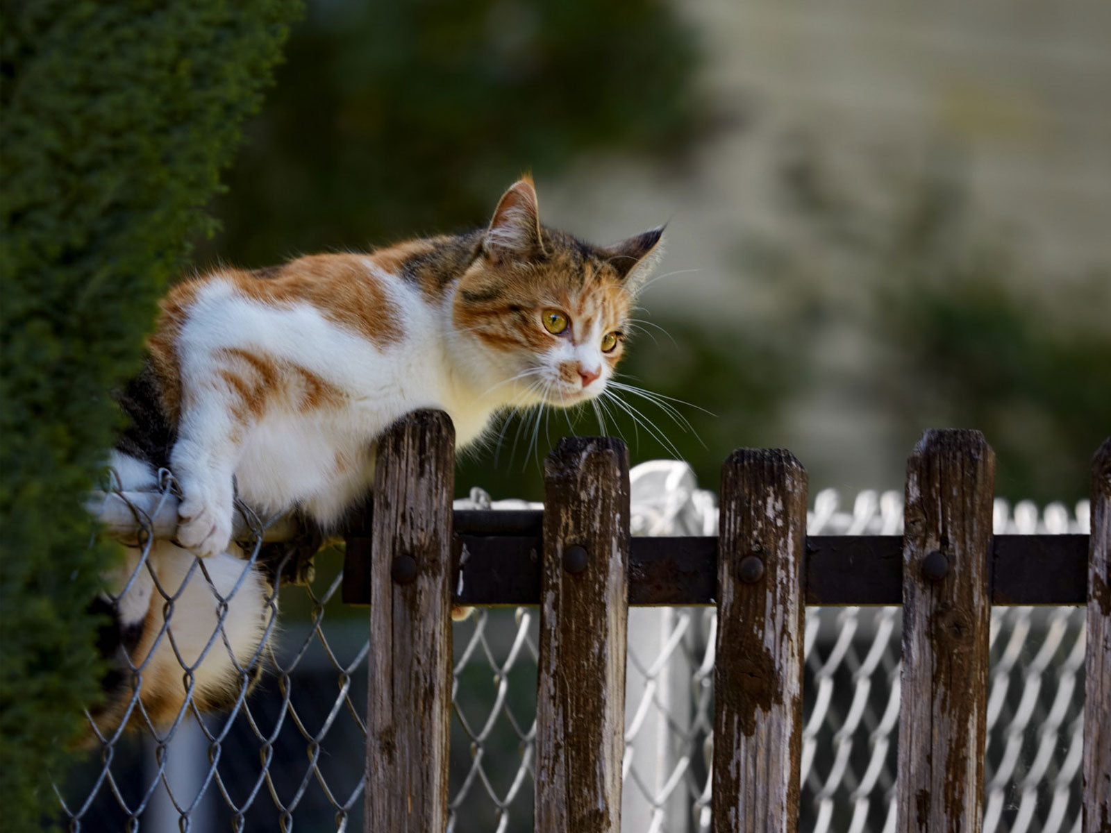 Cat Climbing over Chain Link Fence