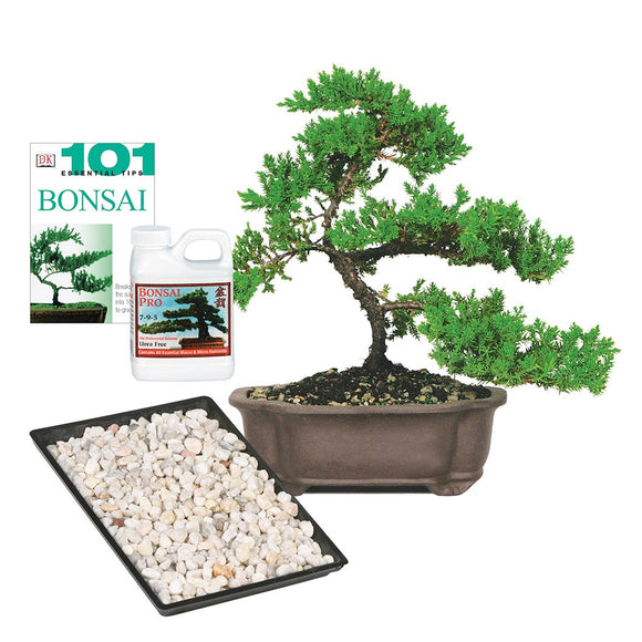Green Mound Juniper Bonsai Kit