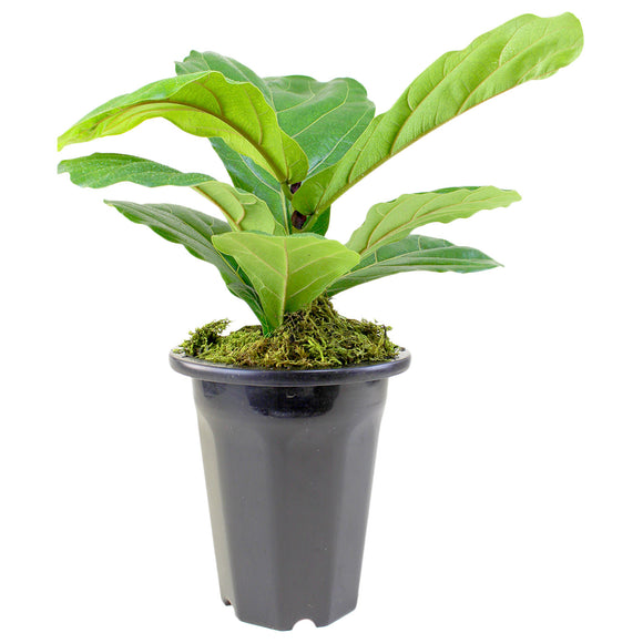 "6"" Ficus Lyrata Fiddle Leaf Fig Plant in Black Grow Pot"