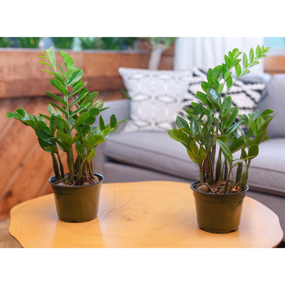 2-pack ZZ Plant in Grower Pots