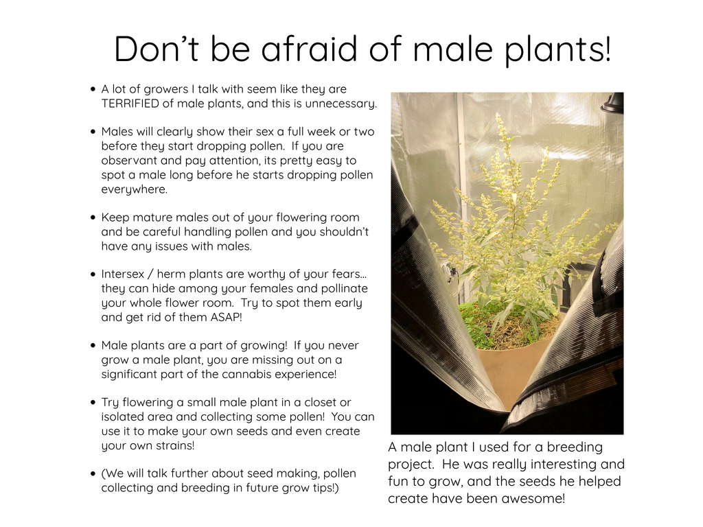 Don't be afraid of male cannabis plants