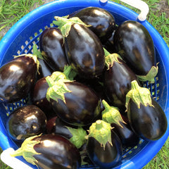 Fresh Eggplant U-Pick per PIECE