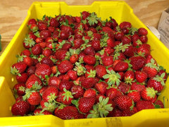 Fresh Strawberries U-Pick per Quart