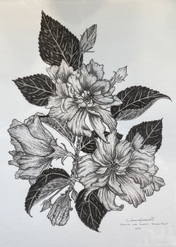 Double Peach Hibiscus - Giclée of Original Graphite Drawing