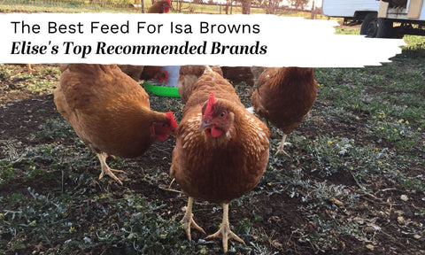 what to feed isa brown backyard chickens