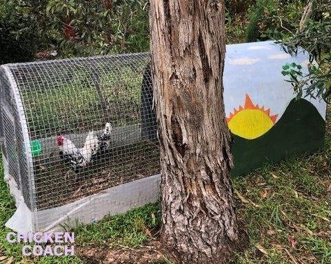 Chicken Heat Wave Survival Guide - Chicken Coach