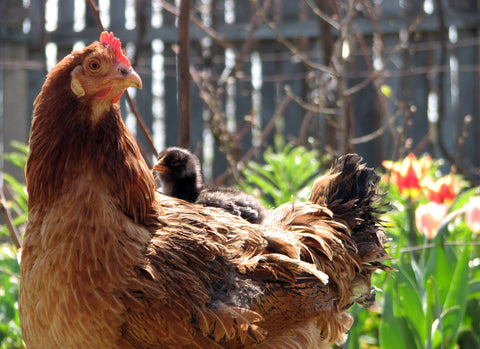 backyard-chickens-worms-and-worming