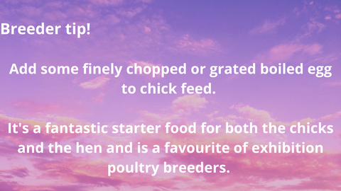 breeder tip for chick feed hatched backyard chickens