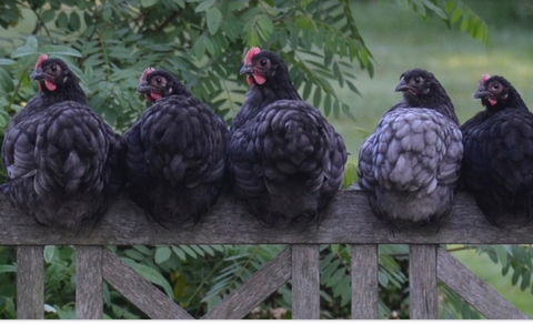 5 chickens sitting on a fence