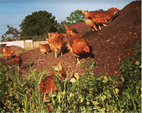 chickens turning compost
