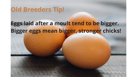 backyard chickens lay bigger eggs after moulting