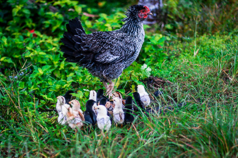 mother hen and many chicks in the backyard foraging