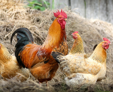 rooster and chickens pecking at hay stack