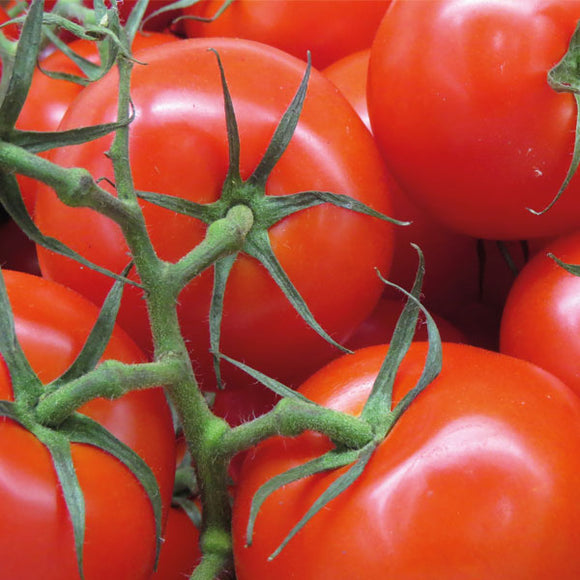 Tomato - English Large Vine,  x 6