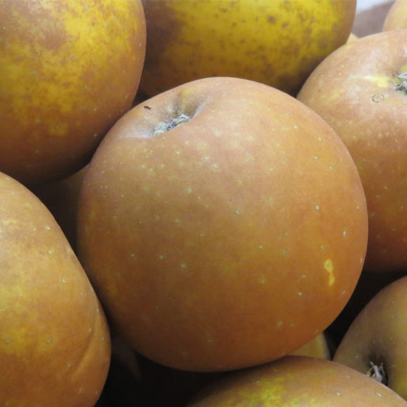 Apple Russets - English New In - x 3 Lge