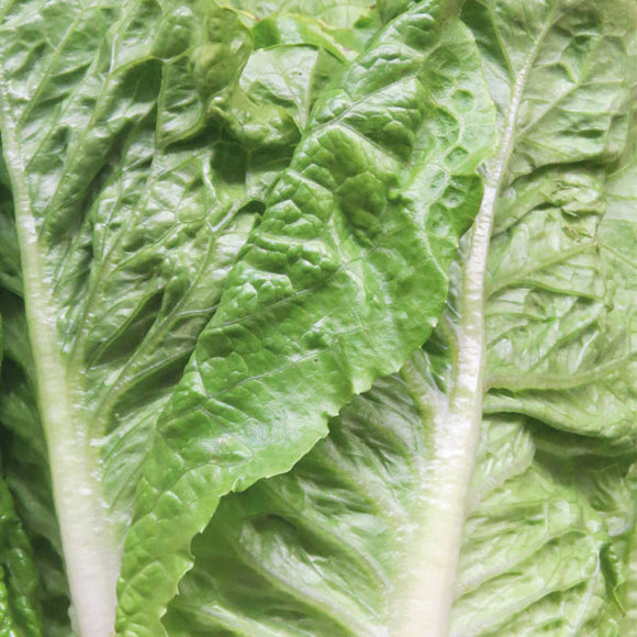 Lettuce, Cos - Local Grown x 1