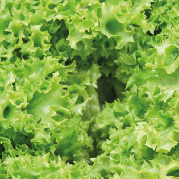 Lettuce Lollo Blonde – box