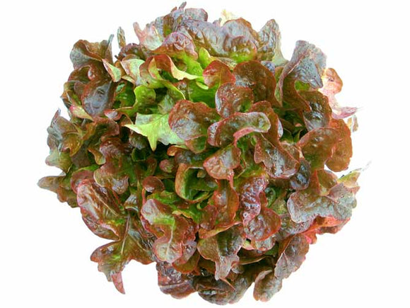 Lettuce, Oak Leaf - x 1 NOW IN