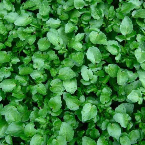 Watercress – each