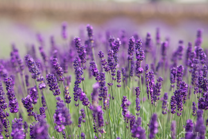 Flowers Use in Perfumes, Lavender