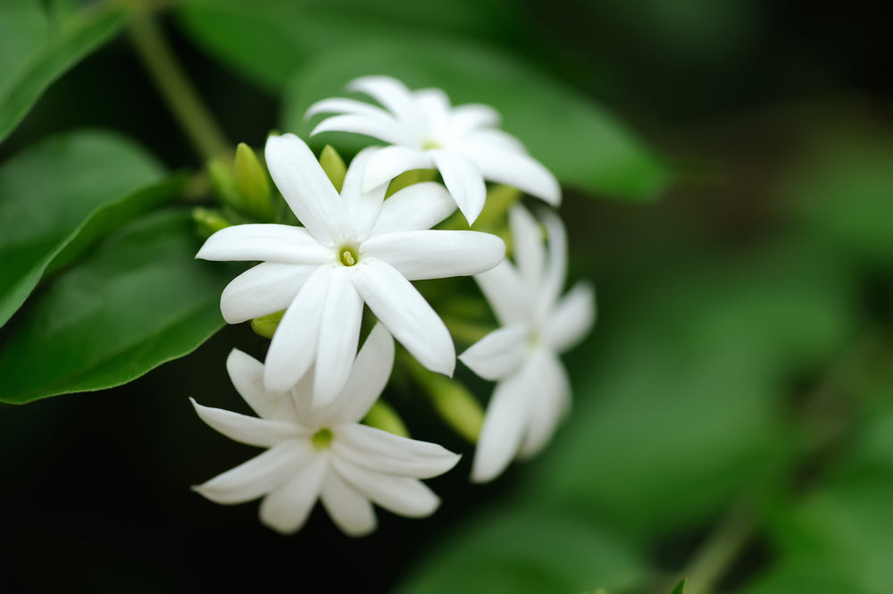 Flowers Use In Perfume Jasmine