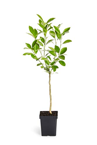 1-2 ft. Calamondin Orange Tree - Grow Your Own Oranges with these Indoor Citrus Trees