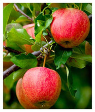 Load image into Gallery viewer, Fuji Apple Tree - Semi-Dwarf - Healthy Established - 1 Gallon Trade Pot - 1 Each by Growers Solution