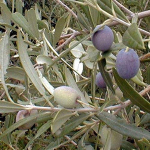 Arbequina Olive Tree Live Plant Cold Hardy NO SHIPPING TO CA, AZ, AK, HI, OR or WA PER YOUR STATE LAWS