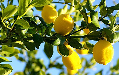 "Live Plants Lemon Trees 3""- 6"" Landscaping Starter Seedling Citrus Fruit"