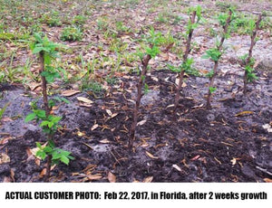 "4 Heritage Red Raspberry Plants, bare-root LARGE 2-year 18-24"" trimmed canes"